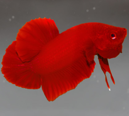 http://bettafish.ru/images/stories//pict/Halfmoon_PK_SuperRed.jpg
