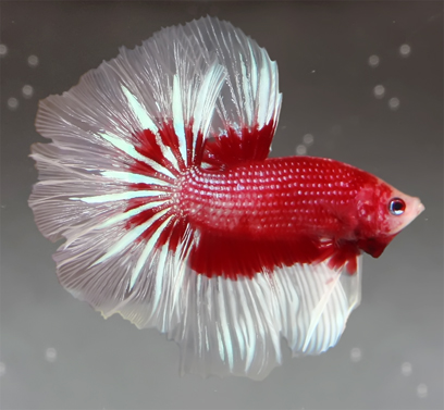 http://bettafish.ru/images/stories//pict/Halfmoon_Red_marble.jpg
