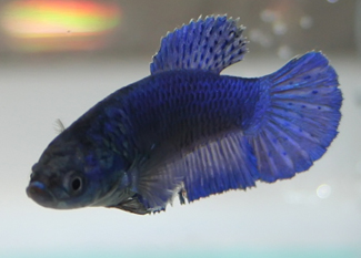 blue female